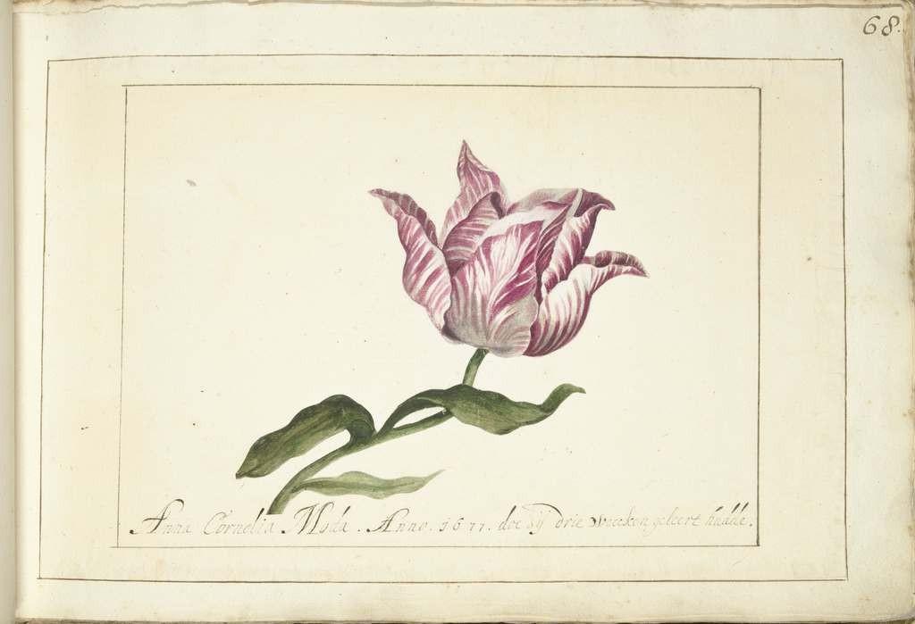 Représentation naturaliste d'une tulipe.