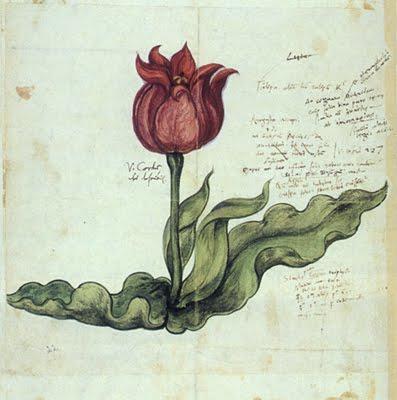 Dessin représentant une tulipe.